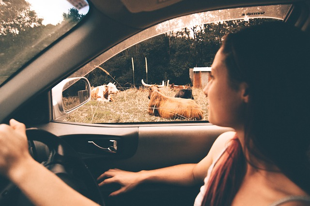 pohled z auta na krávy